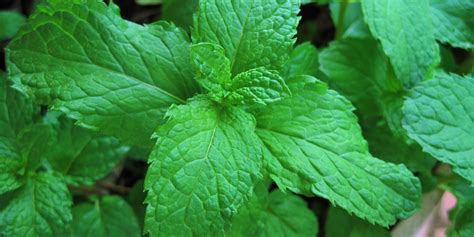 10 Herbs That Grow Well In The Shade – REALfarmacy