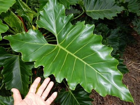 Philodendron hybrid - TROPICAL LOOKING PLANTS - Other Than
